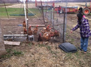 Free-range chickens at the organic farm of Oneida of Wisconsin.